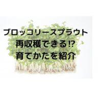ブロッコリースプラウトは再生して再収穫できる?育て方と栽培のコツ
